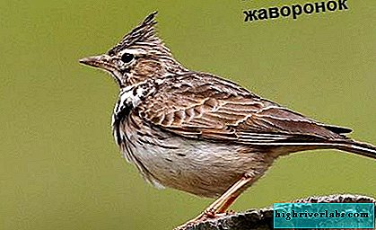 Lark bird. Lark lifestyle and habitat