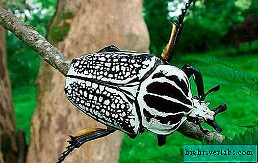Beetle goliath insect. Description, features, species, lifestyle and habitat of the goliath