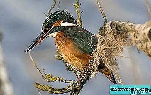 Kingfisher. Habitat and habitat of kingfisher bird