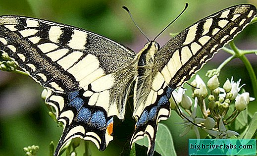Papillon Machaon (lat.Papilio machaon)