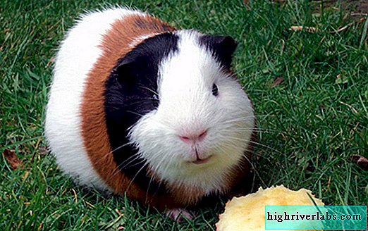 How to feed a guinea pig