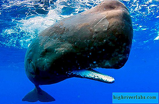 Pottwal (Physeter macrocephalus)