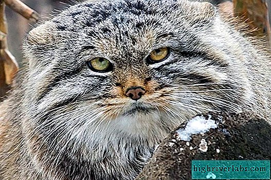 Manul - a cat from the red book
