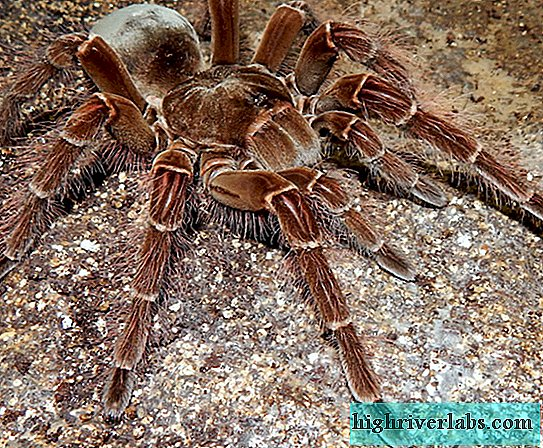 Goliath-Vogelspinne (lat.Theraphosa blondi)