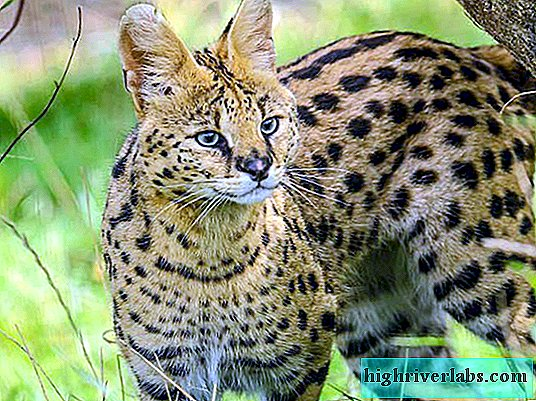 Serval or shrubby cat