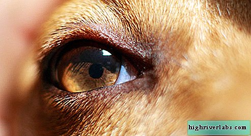 Vision chien