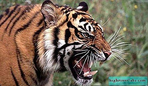 are un ajutor de tigru în pierderea în greutate