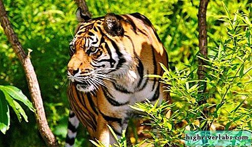 are un ajutor de tigru în pierderea în greutate moduri bune de a arde rapid grăsimea