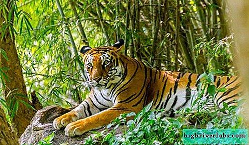Scădere în greutate tigru violet. Cum ar trebui să mănânci pentru a pierde în greutate