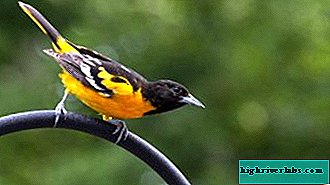 Common Oriole