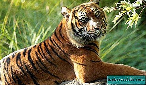 pierderea în greutate a ochiului tigrului